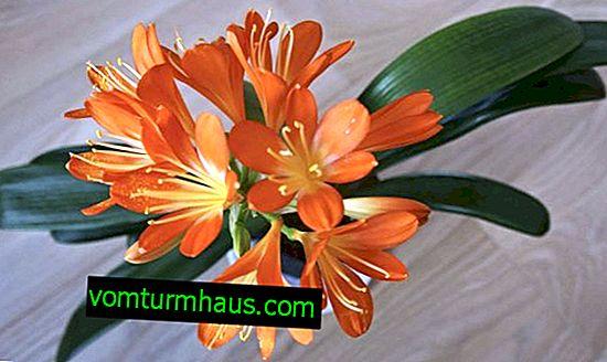 Pourquoi le clivia ne fleurit-il pas et comment le faire fleurir?