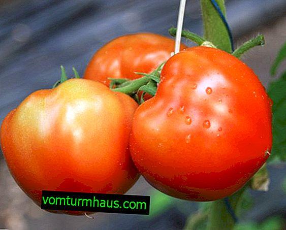 Berberan Tomaten: Beschreibung, Anbau landwirtschaftlicher Technik