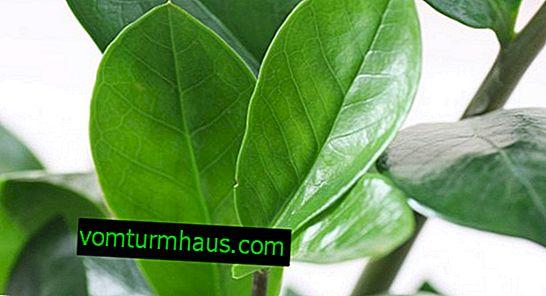 Wie man Zamioculcas pflanzt und dafür sorgt