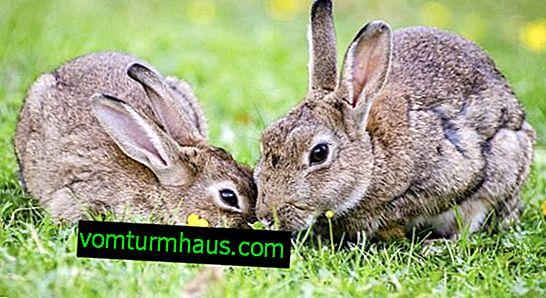 Como pegar um coelho: métodos eficazes para fazer armadilhas faça você mesmo