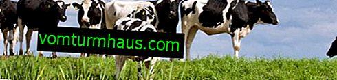 Como as vacas acasalam?