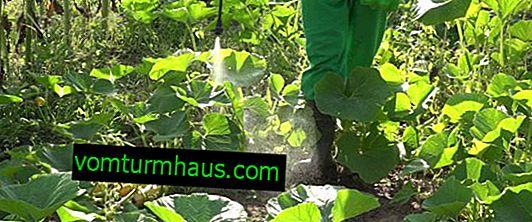 Sådan fodres agurker korrekt med urinstof