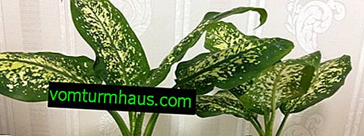 Varieties of Dieffenbachia