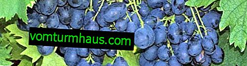 Richelieu grape variety: characteristics, agricultural cultivation