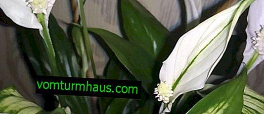 Spathiphyllum Chopin: cuidado en el hogar