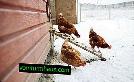 ¿Cuál es la temperatura mínima que los pollos pueden soportar en invierno?