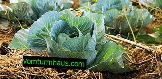 What is keel on cabbage and how to deal with it?
