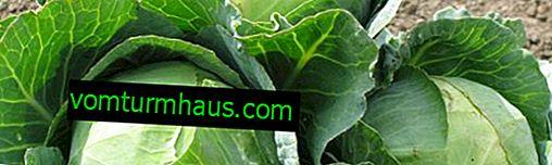 Wie man mit Blattläusen auf Kohl umgeht
