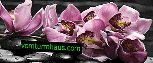 Wie wachsen die Wurzeln einer Orchidee?