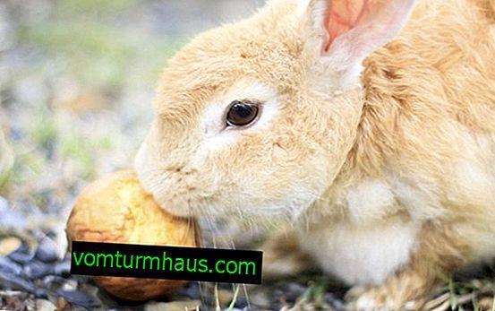 Kan kaniner matas äpplen och andra frukter