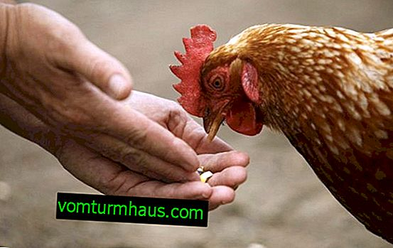 Quanto cibo al giorno dovrebbe essere dato alle galline ovaiole?
