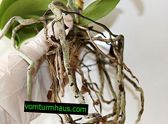 Orchids dry their roots: how to revive a plant?