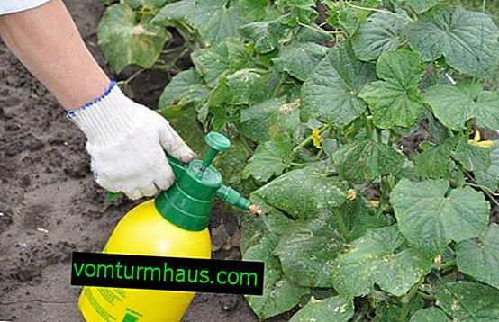 """Sådan behandles agurker """"Fitosporin"""""""