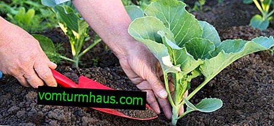 Wie man Kohl pflanzt und anbaut