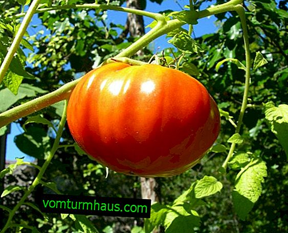 Tomatoes King of the giants: description, agricultural cultivation