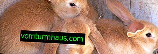 Kako se riješiti grinja od zečjeg uha