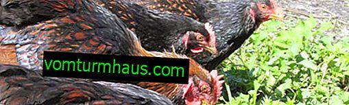 Polli barnoveld caratteristici, manutenzione e cura