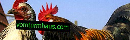 Vedení kuřat v polykarbonátovém skleníku: uspořádání a péče