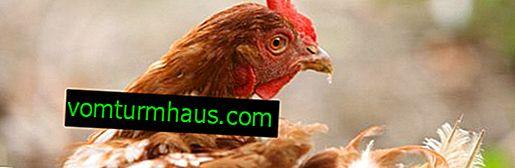 Quali sono i fattori che influenzano la produzione di uova delle galline ovaiole: qual è la ragione del declino e come aumentare le prestazioni?