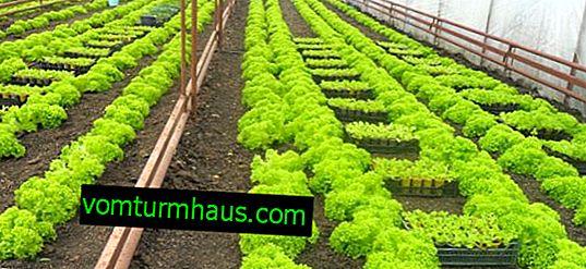 Hur man gör ett växthus för att växa greener med dina egna händer?