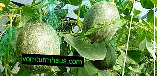 Formación de melón en un invernadero