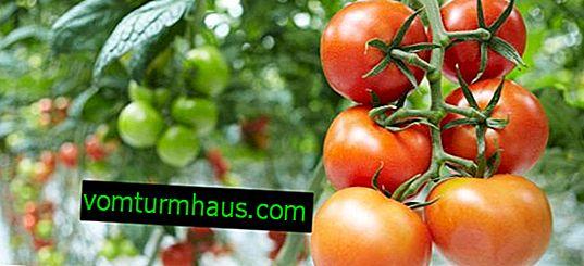 Pourquoi les tomates flétrissent-elles dans une serre?
