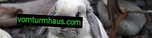 Chinchilla kanin: rasbeskrivning, innehåll och vård