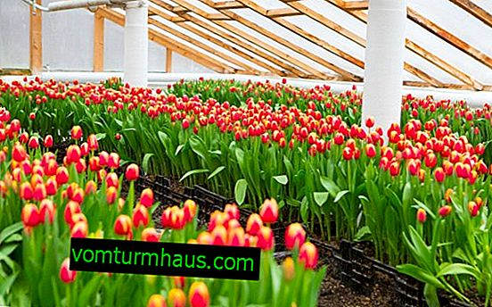 How to grow tulips in a greenhouse by March 8?