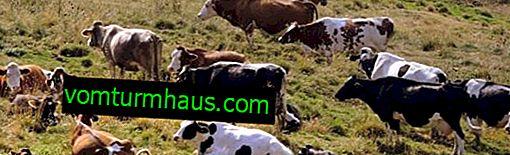 Hur dödar man en ko eller en tjur hemma?