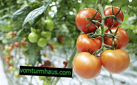 De bedste sorter af tomater, der er modstandsdygtige over for sen blight