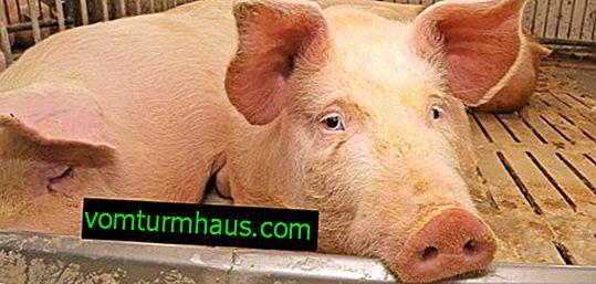 Ascariasis i svin: symptomer og behandlingsfunktioner