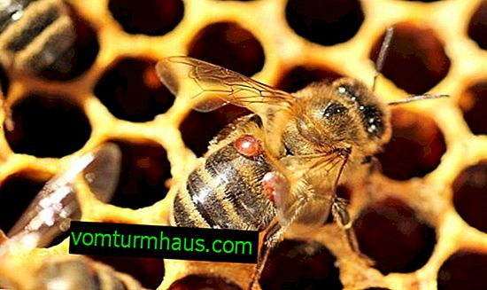 Varroatosis of bees: signs, treatment features