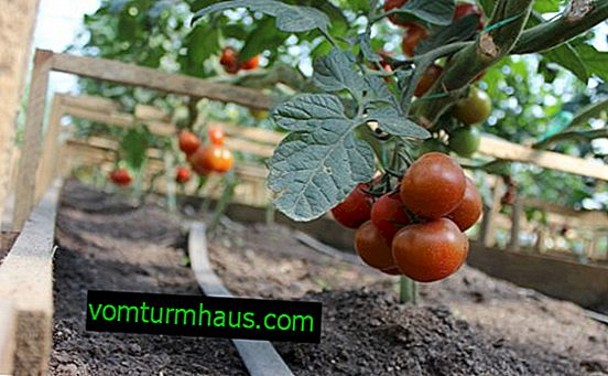 How to prepare the soil for planting tomatoes in a greenhouse