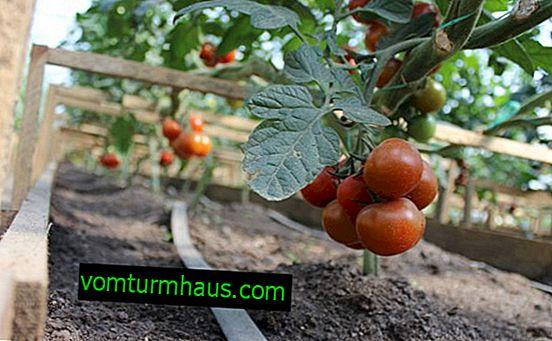 Sådan forberedes jorden til plantning af tomater i et drivhus