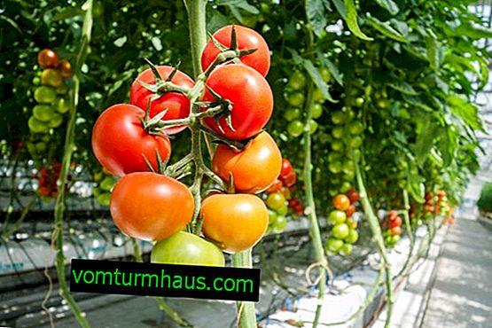 Hur ökar utbytet av tomater i växthuset?