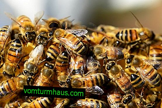 The most common bee diseases and their treatment