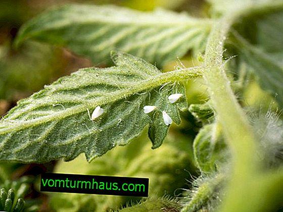 Hur kan du bli av med vitflugor på tomater i ett växthus?