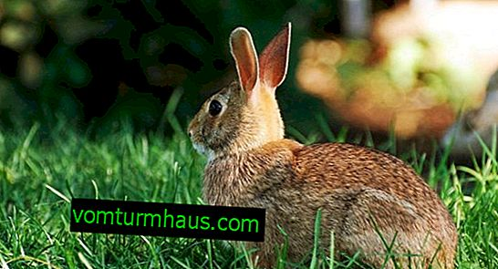 Coccidiosis in rabbits: symptoms, treatment and prevention, is it possible to eat sick rabbit meat?