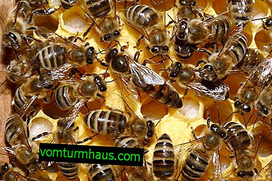 Characteristics and features of the Carpathian bee