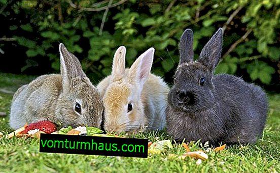 Was Sie nicht füttern können Kaninchen zu Hause