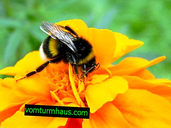 Bumblebee - insect: description, features, lifestyle and habitat