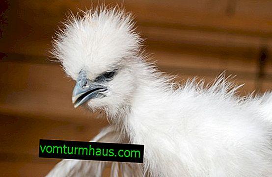 Kinesiske silkehøns: beskrivelse af racen, egenskaber ved opbevaring og fodring