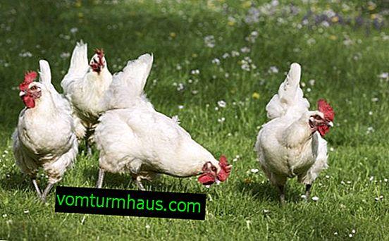 Quante galline vivono a casa?