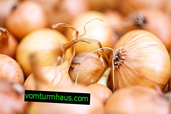 Onion variety Hercules: description and features of cultivation