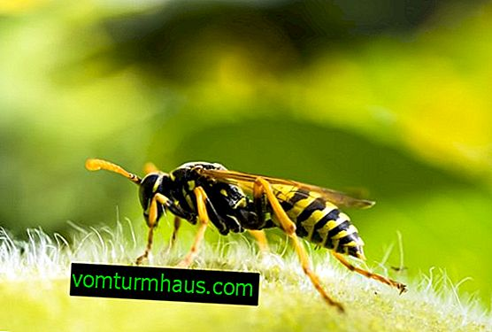 How to distinguish a wasp from a bee?  Main signs
