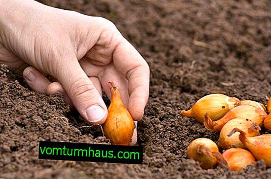 Wie man im Frühling Zwiebeln pflanzt
