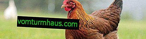 Hur man enkelt, snabbt och korrekt plockar en kyckling hemma
