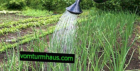 Jak zalévat cibuli