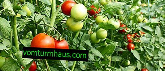 Co když jsou rajčata ve skleníku malá?