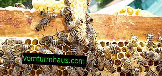 Suggerimenti per apicoltori principianti: come allevare le api